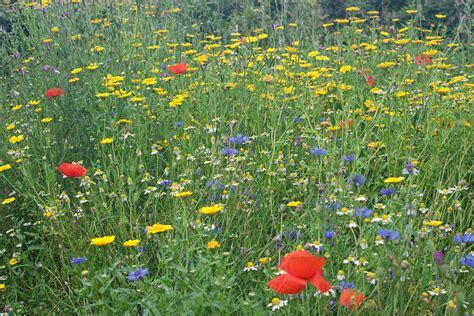 bloemen bestellen deventer mengsel 233 233 njarige akkerbloemen mengsel a6 233 233 njarige