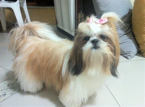 are shih tzu easy to potty 1000 images about beautiful shitsu on shih tzu and beautiful