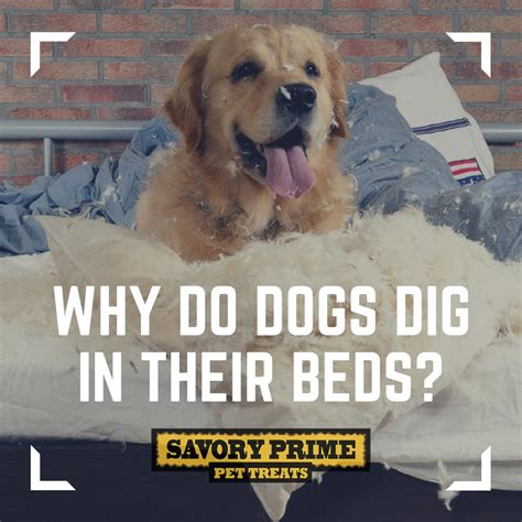 Why Do Dogs Scratch The Bed by Why Do Dogs Dig In Their Beds Savory Prime Pet Treats