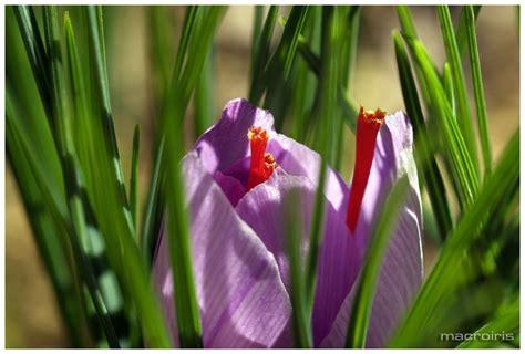 la flor del azafrn 1503953505 macroiris flor del azafr 225 n
