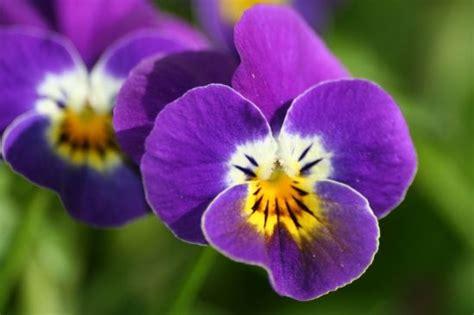 Fleur Violette by Violette Fleur Couleur Violette Miss M