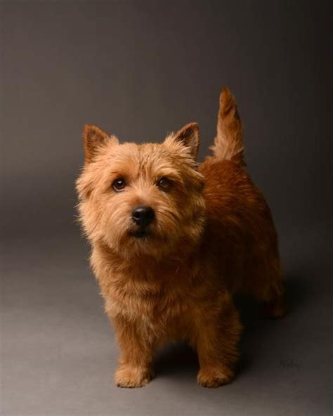 norwich terrier puppies pictures of norwich terrier breeds picture