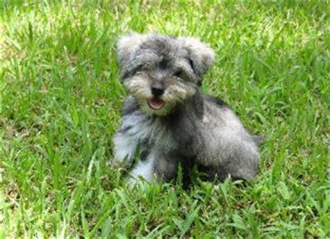 teacup schnauzer puppies for sale miniature schnauzer puppies for sale schnauzer teacup