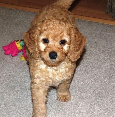cost of labradoodle puppy puppy labradoodle hi res 720p hd