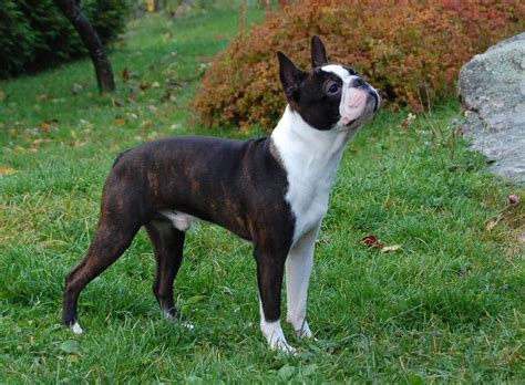 puppy boston terrier boston terrier razas perros mascotas