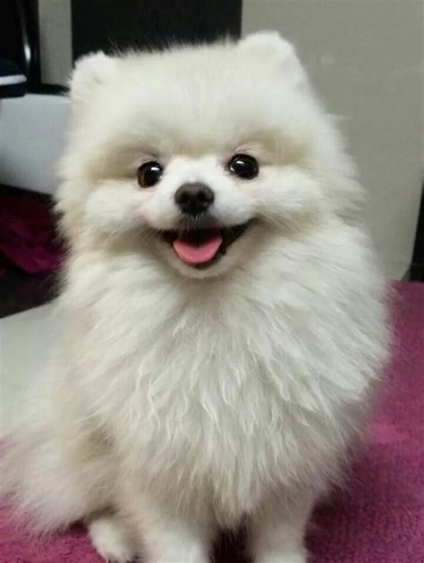 cute pomeranian haircuts 17 best images about pomeranians on pinterest cutest