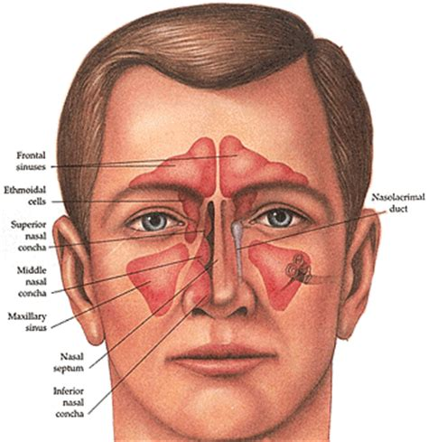 sinus diagram what are sinuses dr joseph b new york city