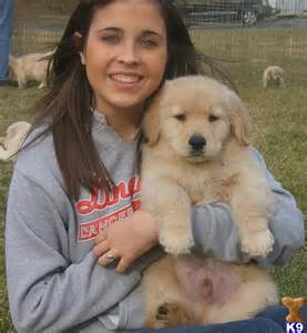Home puppies for sale golden retriever akc golden retriever puppies