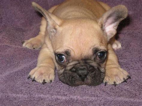 puppy breeder bulldog puppies bulldog puppies breeders