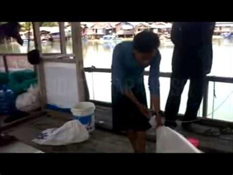 Jual Bibit Ikan Sidat Marmorata ikan sidat poso marmorata muara sungai poso