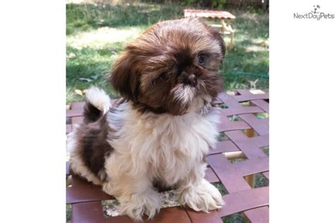 shih tzu puppies for sale near me akc shihtzu puppy for sale shih tzu puppy for sale near sacramento california