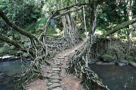 living bridges living root bridges flickr photo sharing
