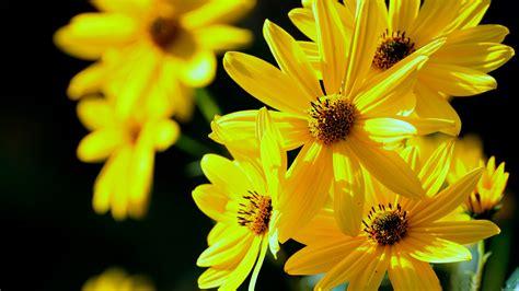 beautiful yellow flowers backgrounds yodobi