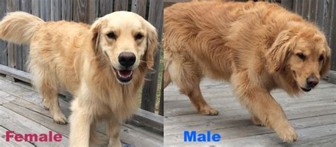 golden retriever sounds happy ending home safe n sound found roaming highway 14 nine mile river