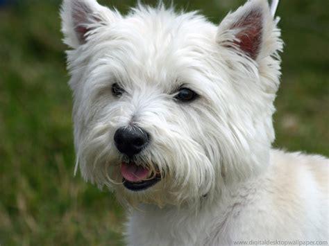 west highland puppies west highland white terrier tu amigo el perro