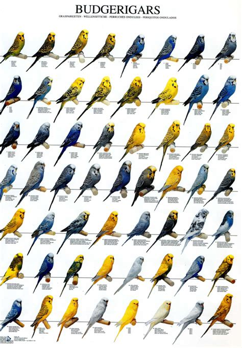 budgie colors ladygouldianfinch bird posters