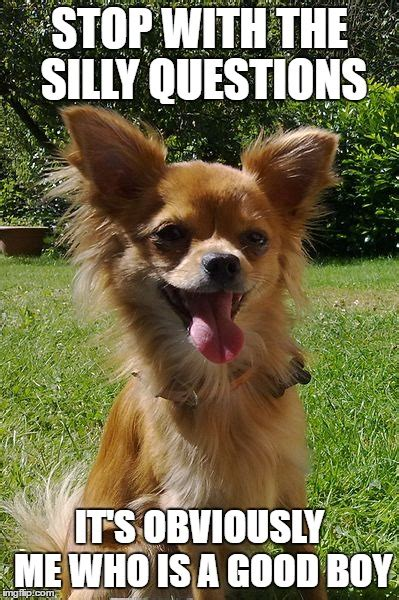 Chihuahua Meme - funny squinting chihuahua dog breeds picture