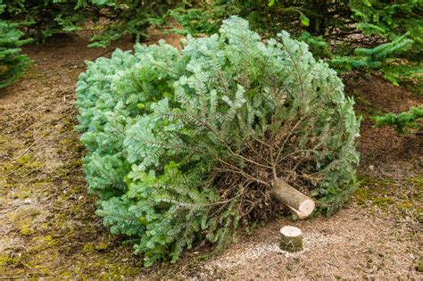 christmas tree permits kamas utah blm offers tree permits across utah deseret news