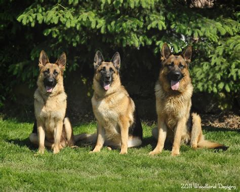 german shepherd puppies for sale ohio akc registered german shepherd puppies for sale pedigreed german shepherd