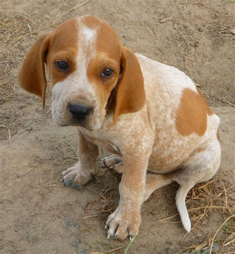 redtick coonhound puppies american coonhound redtick coonhound american coonhound