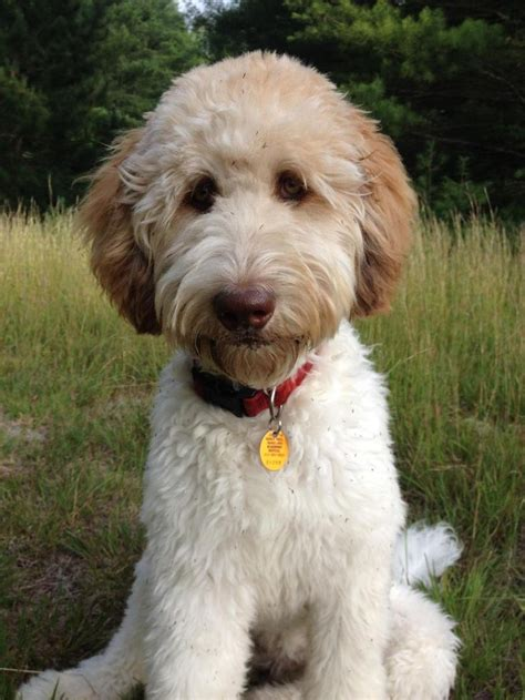 Goldendoodle Hair Types by 25 Best Ideas About Goldendoodle Haircuts On