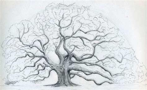 oak tree drawing acorn tree drawing www pixshark com images galleries
