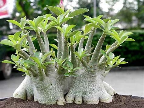 Adenium Somalense bonsai adenium plant adenium bonsai obesum desert