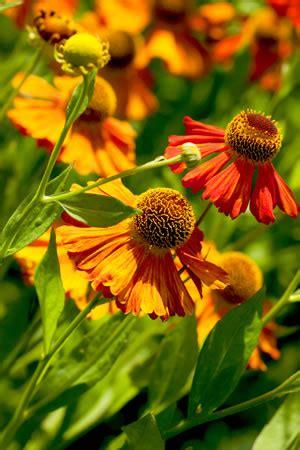 stauden gelb winterhart sonnenbraut helenium pflanzen pflege und sorten