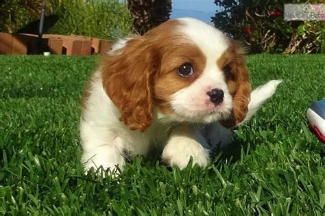 cavalier puppies for adoption cavalier king charles spaniel puppy for sale near san diego california d2fee6c2 7ca1