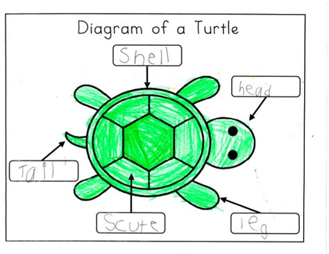 cycle of a turtle diagram mrs ricca s kindergarten april 2012