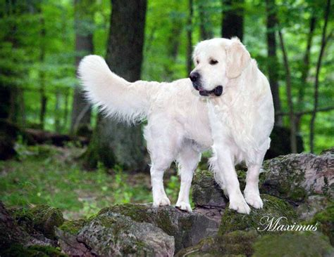 golden mist retrievers white golden retriever pups akc certified holistic breeder nj ny pa ct md ma