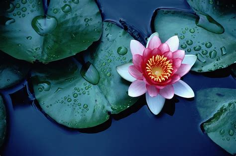 How To Achieve Lotus Lotus Flower Majasdiary