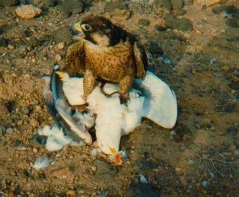 falco pellegrino alimentazione la riproduzione in cattivit 224 falco pellegrino biologia