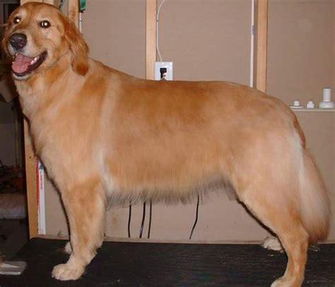 pictures of golden retriever haircuts golden summer cut you animal pinterest dog dog