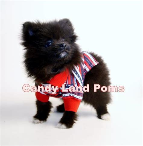 pomeranians for sale in houston faced pomeranian puppies for sale breeds picture