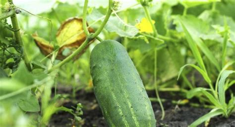 cucumber leaves turning yellow referencecom