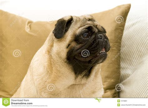 pug on couch cute pug on couch stock image image 7279961