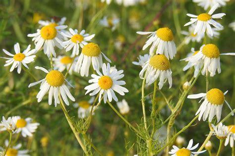 fiori camomilla foto gratis selvaggio flora estate co camomilla
