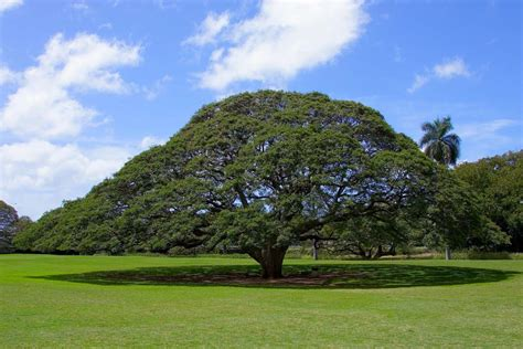 hawaii tree 808 state oahu s hitachi tree certainly is worth a look