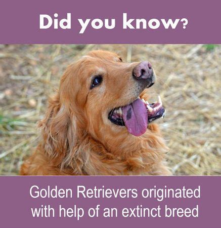 when do golden retrievers go in heat 222 best images about we animals on adoption mardi gras and alabama