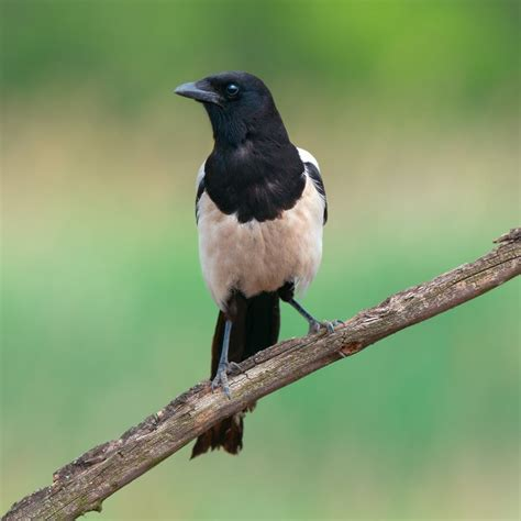 the birds and other deterring magpies and other larger birds gardenbird