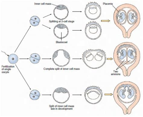 diagram of how identical are formed the conceivable future reproductive medicine