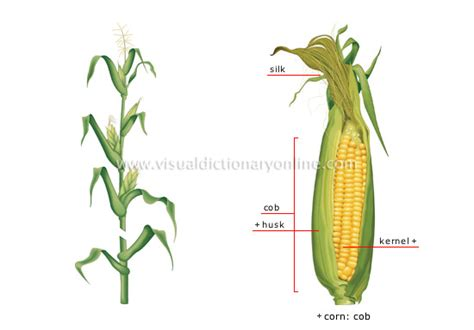 iroquois uses of maize and other food plants classic reprint books plants gardening plants cereals corn image