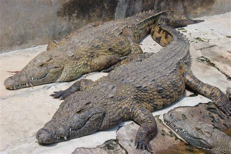 cote de texas male vs female it s a size thing dessin en couleurs 224 imprimer animaux reptiles