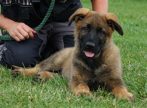 german shepherd puppies for sale oregon zimmerhoff german shepherds breeds picture