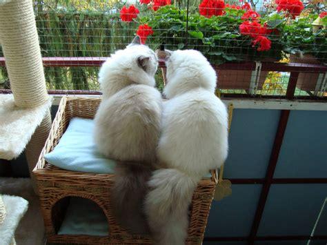 Katzen Sind Keine Einzelg 228 Nger Ragdoll Zucht