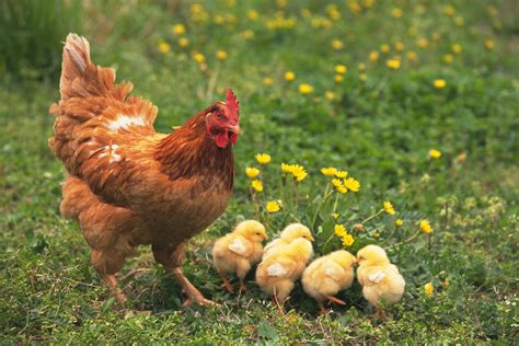 Small Living Room Decorating Ideas how to hatch chicks naturally with a broody hen