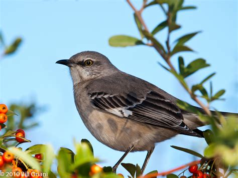 mockingbird texas state bird photo by bill oriani