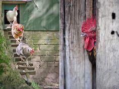 hühnerhaltung im garten h 252 hner vorwerkhuhn h 252 hnerhaltung garten huhn i