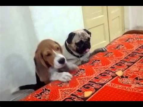 beagle and pug pug vs beagle